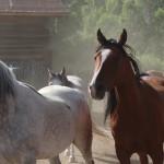 BitterRoot Horse 2