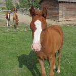 BitterRoot Foal 2